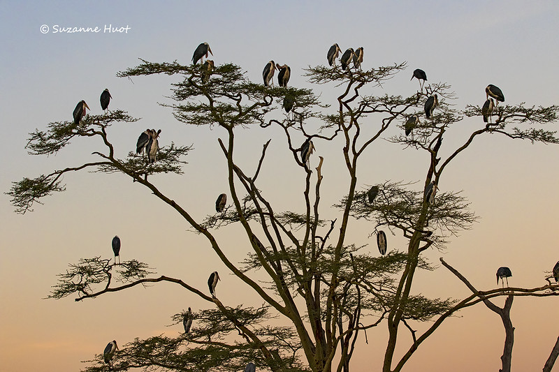 Marabou storks roosting at sunrise