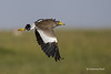 African  Wattled -lapwing
