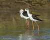 Black-wing Stilt