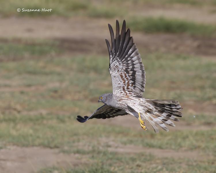 Montagu's Harrier  male
