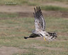 Montagu's Harrier  male