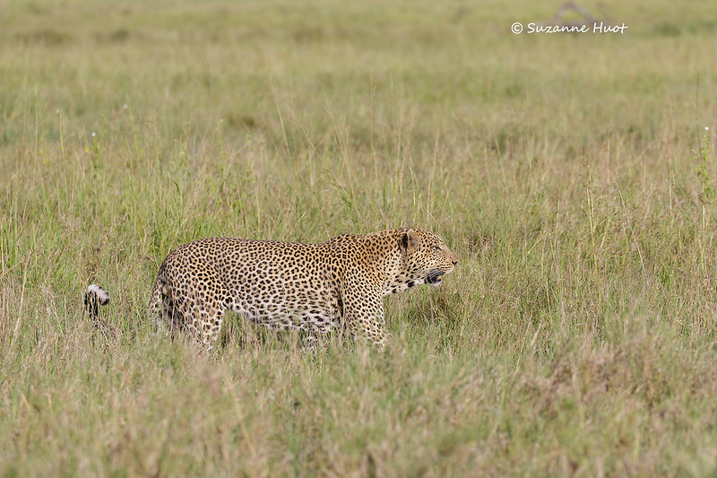 Large male Leopard on the prowl