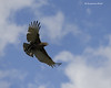 Brown Snake -eagle