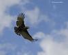 Brown Snake -eagle