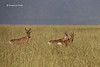 Adult Hartebeest with two young