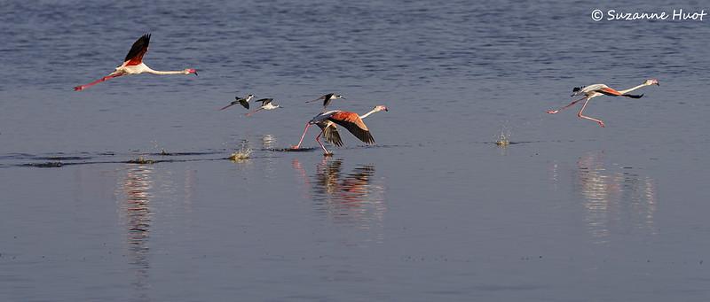 Flamingo's  taking off