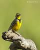 Yellow longclaw
