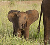 Elephant calf staying very close to mother
