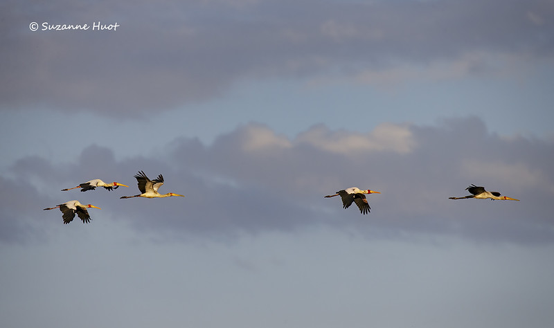 Yellow-billed Storks in flight
