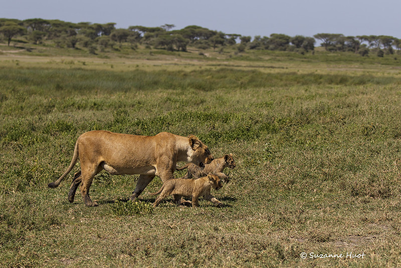 Marsh pride lioness with cubs