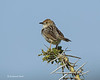 Cisticola to be  given correct I.D