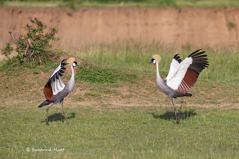 Grey-crowned cranes courting and bonding