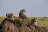 Cheetah family resting on Termite mound