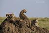Cheetah family resting on Termite mound