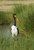 Saddle=billed Stork