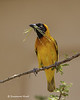 Masked Weaver with nesting material