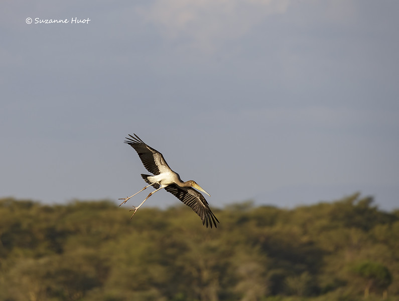Juvenile yellow-billed Stork