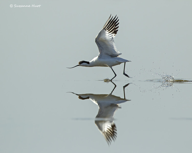Early morning Pied Avocet