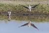 Eurasian Collared-Doves