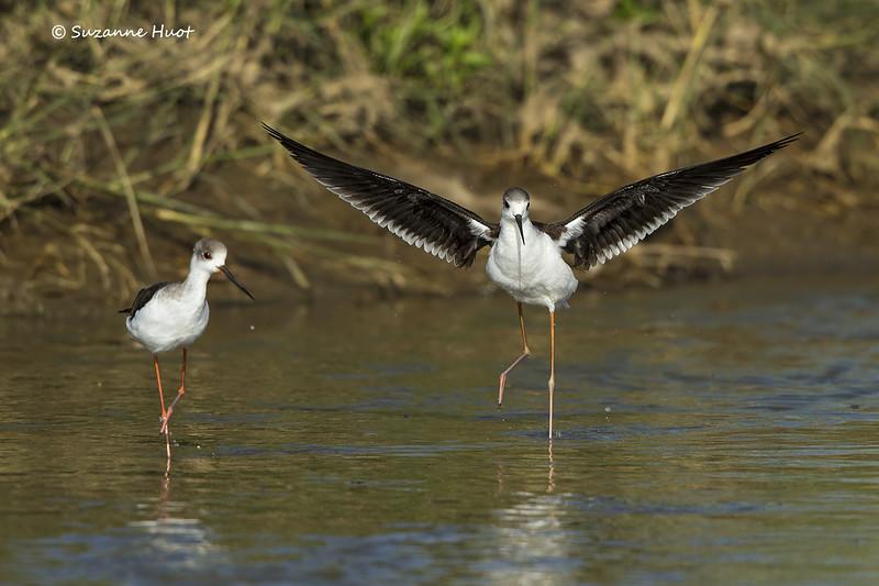 Black-winged Stilt bathing
