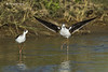 Black-winged Stilt bathing