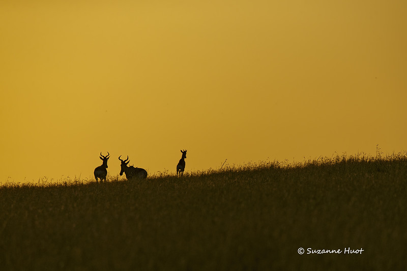 Topi Antelope at  day break