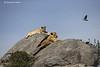 Lions resting atop a rock kopjes