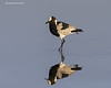 Blacksmith Lapwing reflection