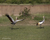 Grey-crowned Cranes  courting