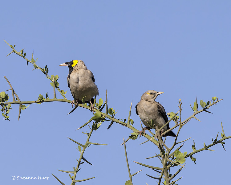 Wattled Starling  male and female
