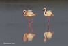 Greater Flamingo reflection