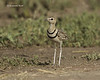 Two banded courser