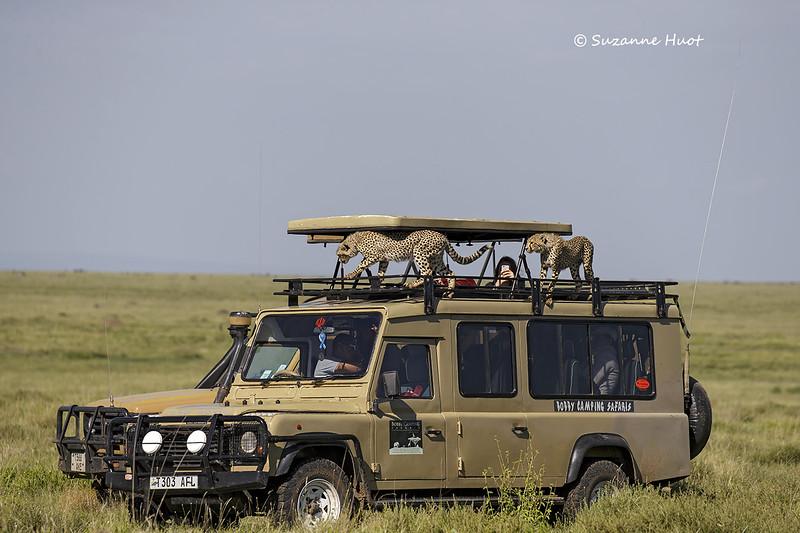 A pair of curious Cheetah cubs