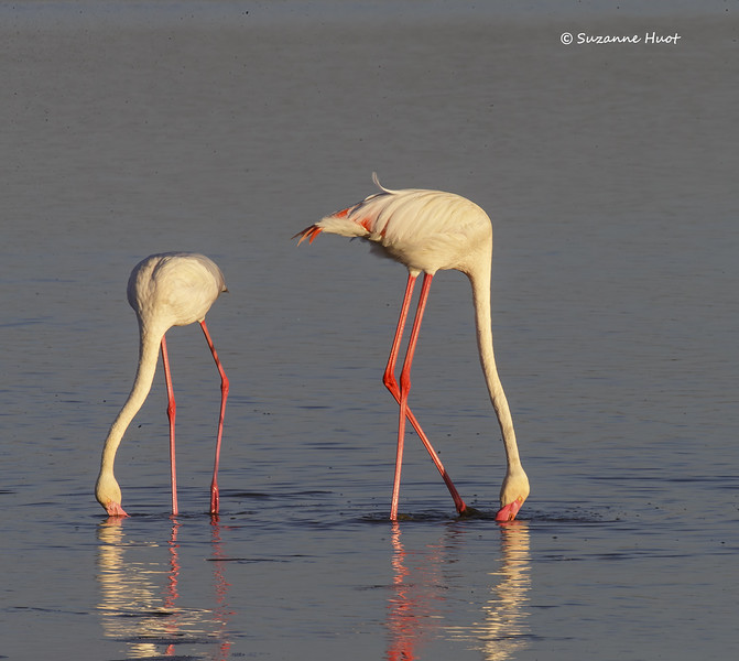Greater Flamingos  feeding