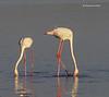 Greater Flamingos  feeding