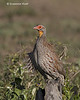 Yellow-necked spurfowl