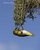 Spectacled Weaver  nestbuilding