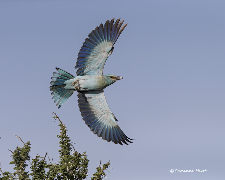 Eurasian Roller in flight
