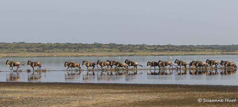 Wildebeest crossing Lake Ndutu