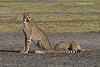 Cheetah with single cub