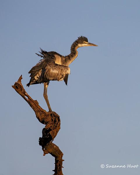 Black Heron at sunrise