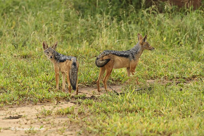 Black-backed jackals