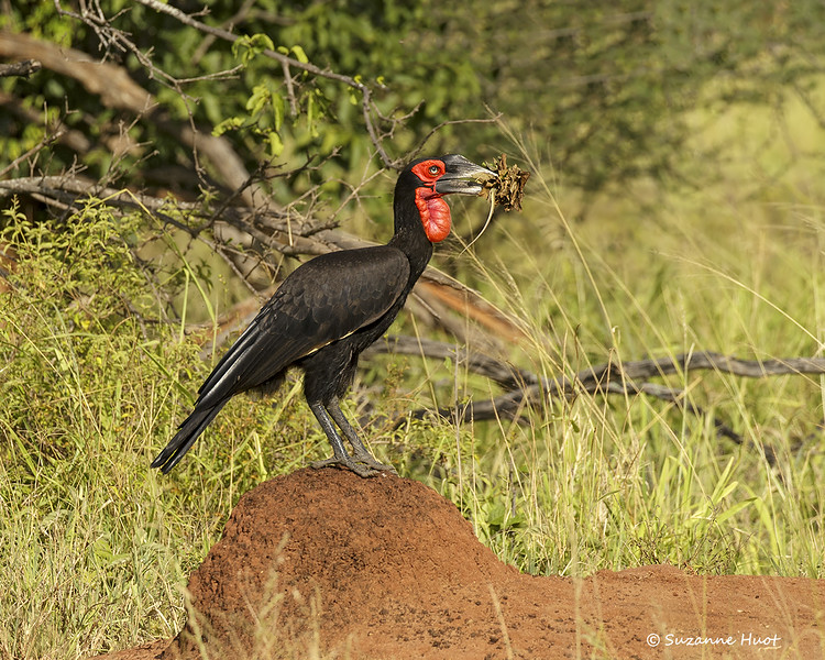 Southern Ground- hornbill  with  Snake