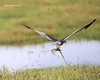 Montagu's Harrier with snake
