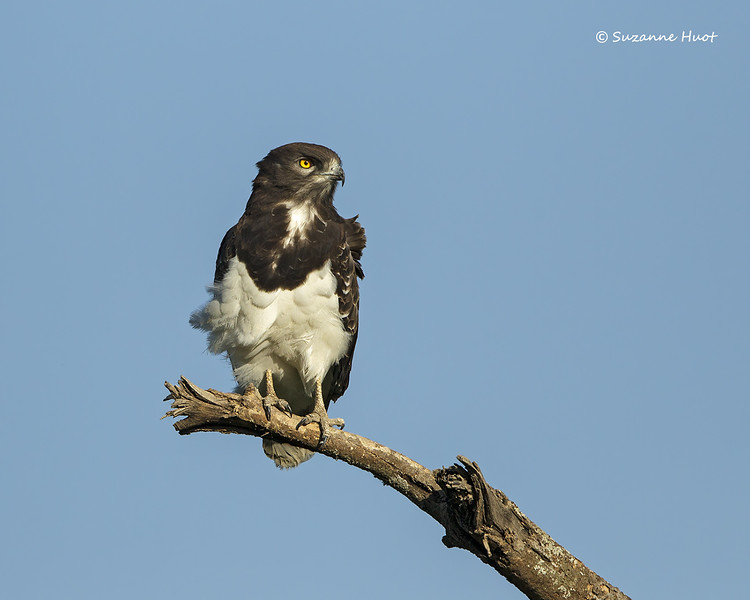 Black-chested,Snake -eagle