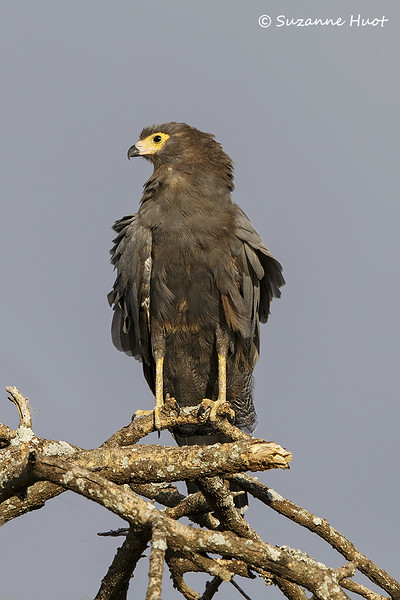 African Harrier Hawk  juvenile