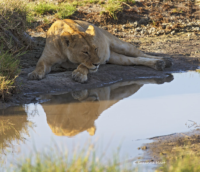 Lioness reflection