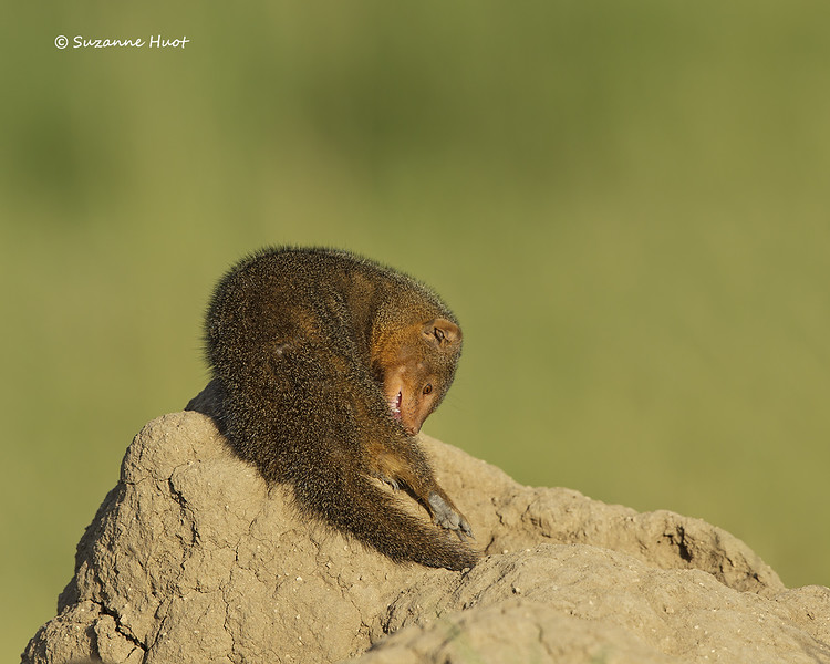 Dwarf mongoose grooming