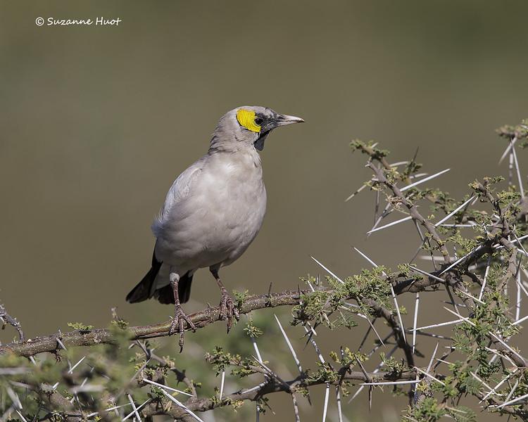 Wattled Starling  male