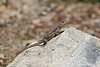 Agama lizard   female